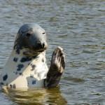 Tuleni snědli vědcům zkoumané ryby