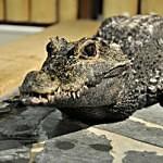 Krokodýl v galerii? Ano, v té krokodýlí