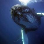 Velryby zvyšují produktivitu oceánů
