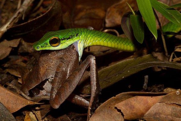 640px-Leptophis_ahaetulla_Snake_Eating_a_Frog_(Craugastor_gollmeri)_zoom