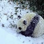 Panda si užívá první sníh