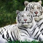 Bílí tygři pomáhají dalším druhům