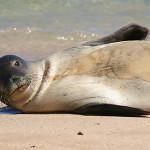 Tuleň havajský dostal nové jméno