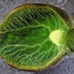 Vodní měkkýš se živí jako rostlina