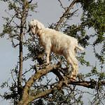 Koza vyšplhá na strom jako opice