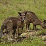 Plachý klokan vyhledává větší tlupu