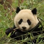 Divokých pand velkých výrazně přibývá