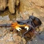 Smrtící chobotnice útočí