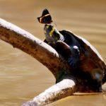 Motýli pijí želví slzy
