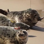 Sledujte tulení mládě v přímém přenosu!