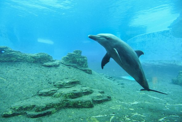 Delfín skákavý umí komunikovat pod vodou. | Kredit: Bernard Tey, CC BY-ND 2.0