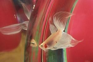 kdo se pozná v zrcadle - rybička ne