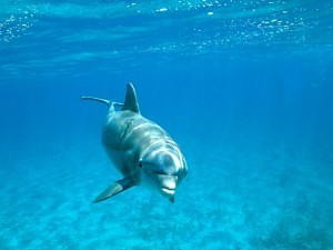 Delfín skákavýKredit: sheilapic76, CC BY 2.0