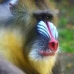 Padesát odstínů mandrila