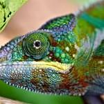 Jak chameleon mění barvu