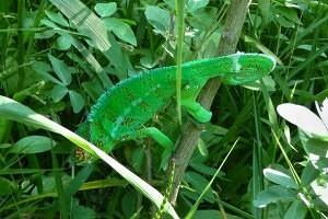 chameleon pardálí v zeleni
