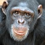 šimpanz zrcadlový test