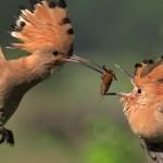 VIDEO: Dudek krmí mládě za letu