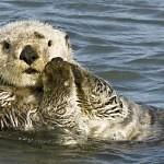 Mořské vydry používají nástroje
