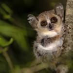 Nejmenší primát je maki
