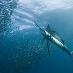 Plachetník – bleskurychlý krasavec