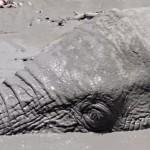 slon v bahně