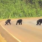 Šimpanzi vědí, jak přecházet přes cestu