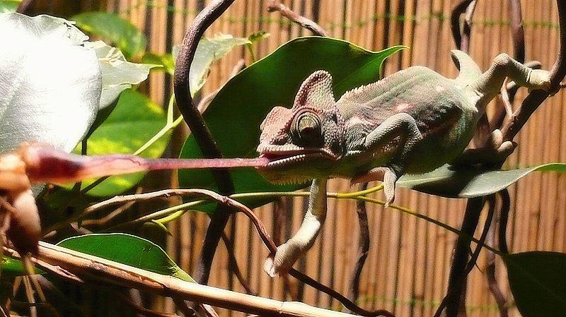 chameleon jazyk