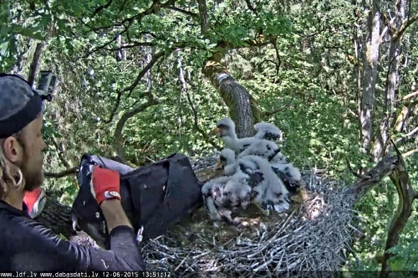 Po kroužkování ornitolog vrátil čápy do hnízda. | Kredit: pontu.eenet.ee