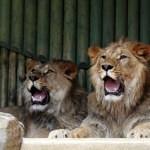 Liberecká zoo přivezla nové lvy