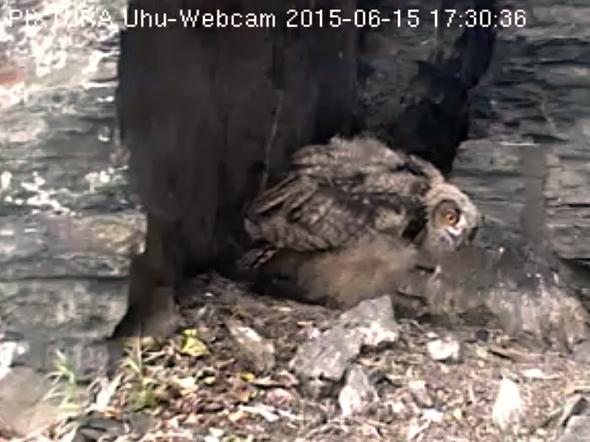 Brzy vylétne z hnízda i mladší ze sourozenců. | Kredit: SWR-Uhu-Cam