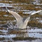 VIDEO: Volavka při lovu ve slowmotion