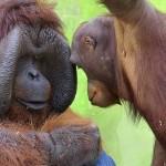 Jak se žije orangutanům v ZOO Ústí – 3. díl