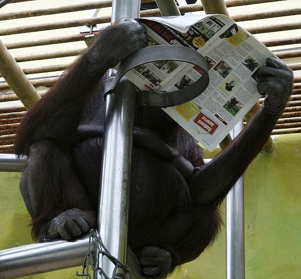 orangutan Ňuninka