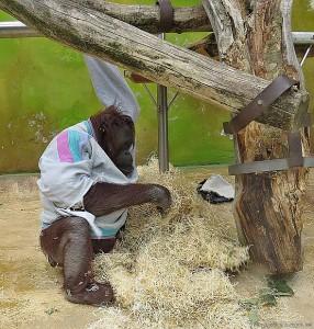 orangutan Ňuninka v mikině