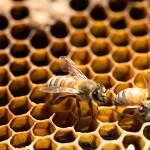 VIDEO: Včely se líhnou před očima