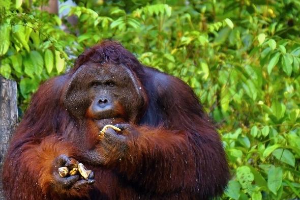 V přírodě se orangutani živí spíše nezralými nebo nahnilými plody. | Kredit:  Budi Nusyirwan , CC BY-SA 2.0