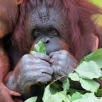 orangutani Ňuninka a Cantik