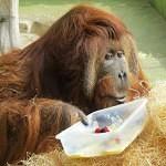 Jak se žije orangutanům v ZOO Ústí – 2. díl
