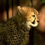 Gepardům se v Čechách daří