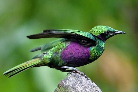 leskoptev smaragdová