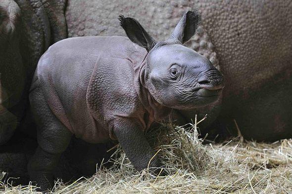 Samička nosorožce indického Maruška v ZOO Plzeň | Kredit: ZOO Plzeň