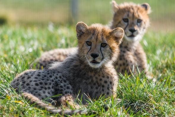 gepardi zoo praha