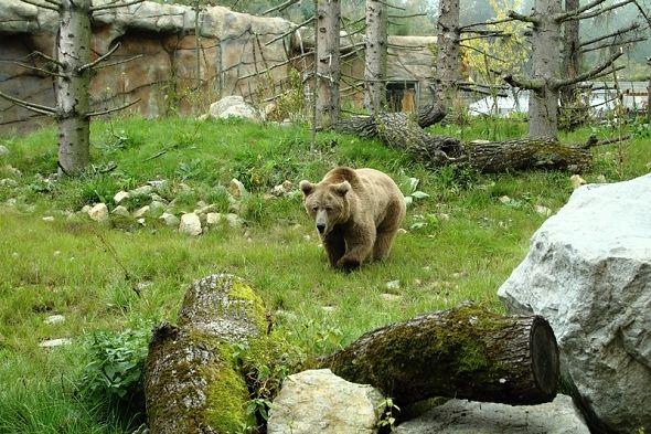 medvěd plavý