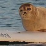 Tuleň ukradl surfovací prkno