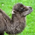Velbloudi v chomutovském zooparku mají mladé