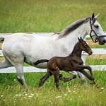 Proč bílí koně rodí tmavá hříbata