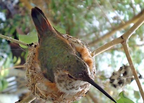 kolibřík kalifornský
