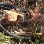 VIDEO: Králičí máma zahnala hada