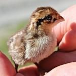 Křepelí kuře se schová do dlaně